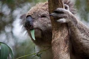 Phillip Island Koala Conservation Centre Entry ticket - Attractions Melbourne