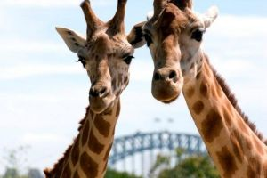 Sydney Harbour Ferry with Taronga Zoo Entry Ticket - Attractions Melbourne